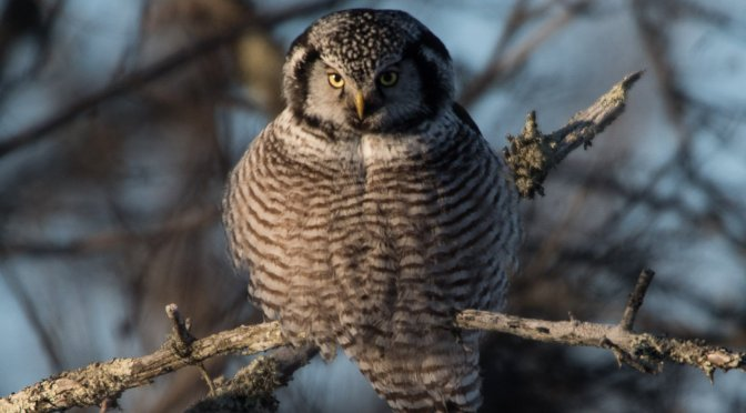 Northern Hawk Owl, Minnesota, Sax Zim Bog