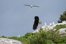 Bald Eagle, Glacous Winged Gull, Glacier Bay National Park, Southeast Alaska, Alaska