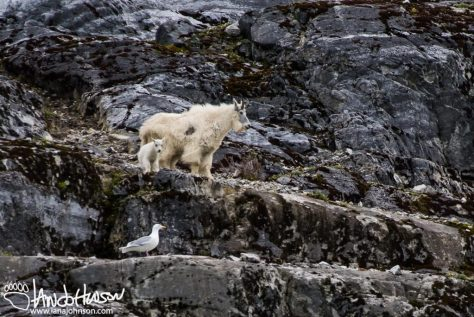 Gloomy Knob, Mountain Goat, Glacier Bay National Park, Southeast Alaska, Alaska