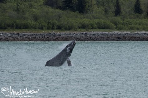 Humpback Whale, Breaching, Glacier Bay National Park, Southeast Alaska, Alaska