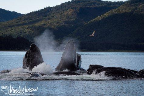 Humpback Whale, Alaska, Breaching, Jumping, Southeast Alaska, Hoonah, Whale Watching, Wooshketan Tours, Bubblenet Feeding
