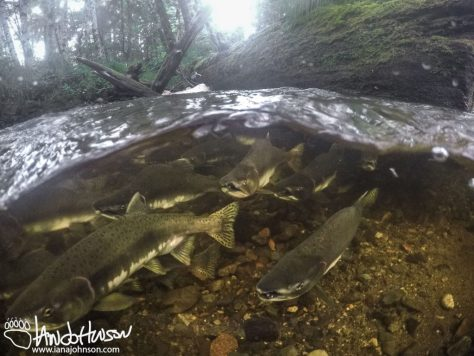 Salmon, Alaska, Hoonah, Pink Salmon, Split Level, Underwater, Go Pro