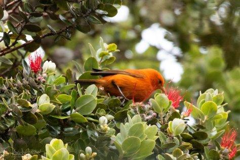 Hawaiin Akepa, Hakalau Forest, Hawaii