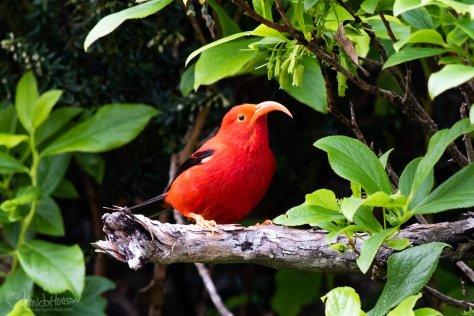 Hawaii, I'iwe, Hakalau Forest