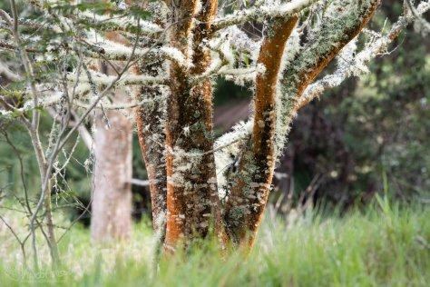 Koa, Lichen, Old Growth, Hakalau Forest