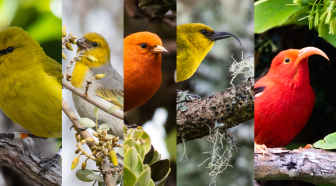 A Few of Us Among the Few of Them : Endangered Birds of Hawaii