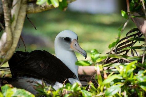 Laysan Albatross, Princeville, Hawaii, Kauai