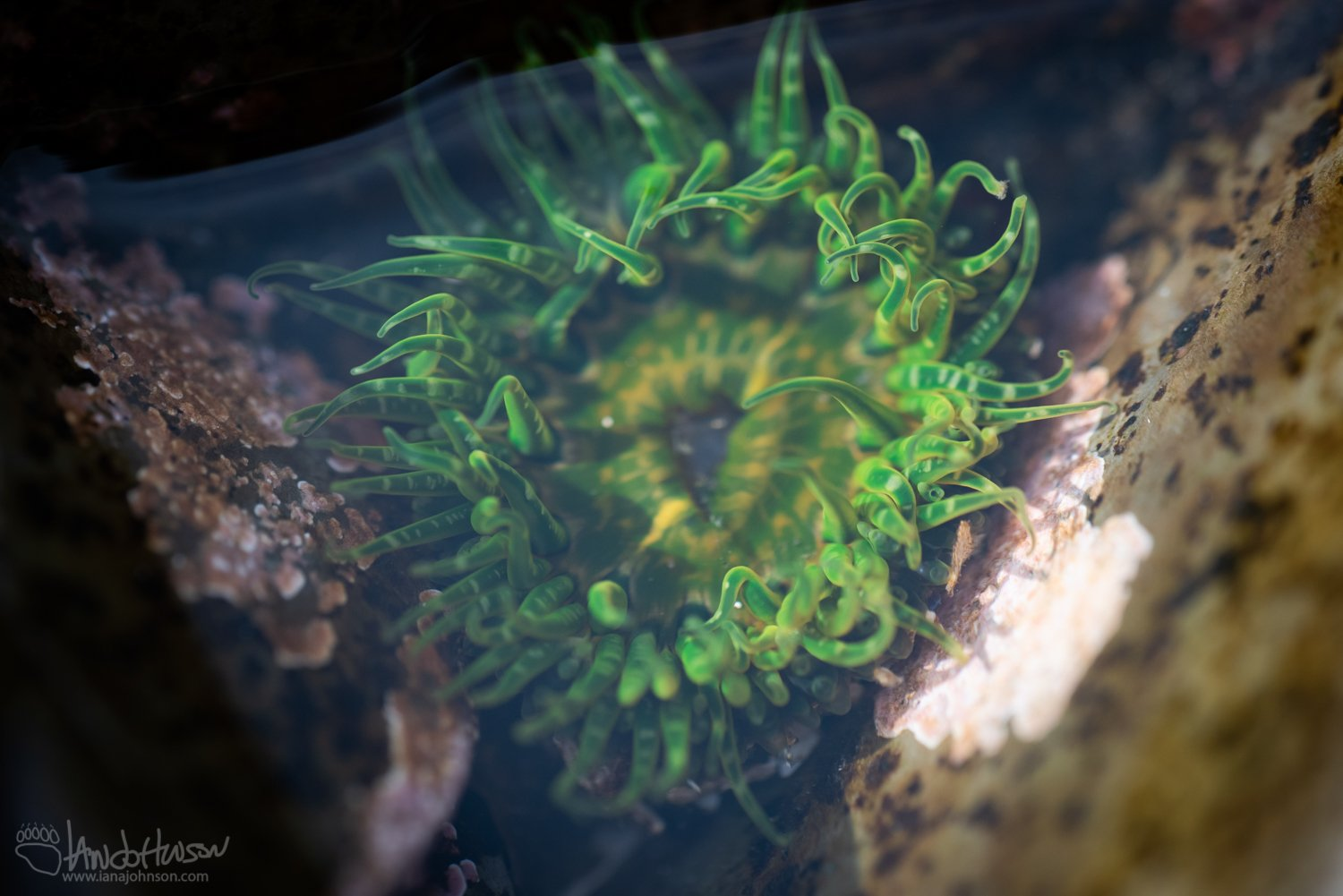 Tidepool, Alaska, Color, Green Anemone