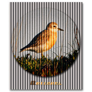 New Zealand Dotterel by Ian Anderson.