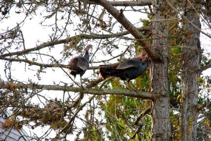 november-21-turkeys-in-the-tree