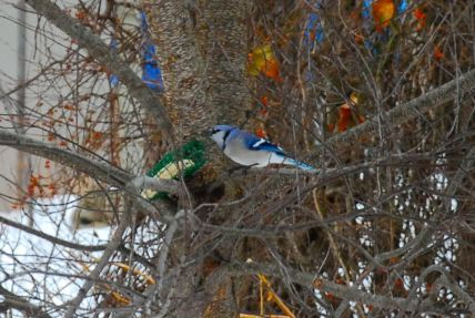 december-26-blue-jay-feeding-time
