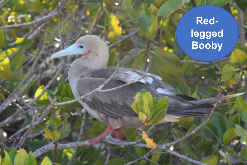 15A. Red Booby