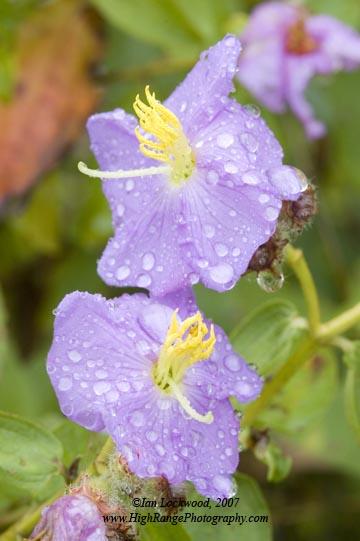 osbekiafloweratknuckels_14_07lr.jpg