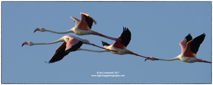 Flight of Greater flamingos (P roseus) at Vankalai Sanctuary near Mannar.