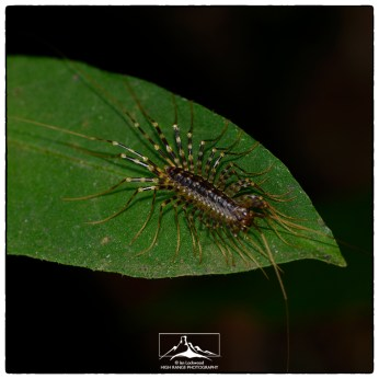 Creatures of the night in the Pidurutalagala forests edges.