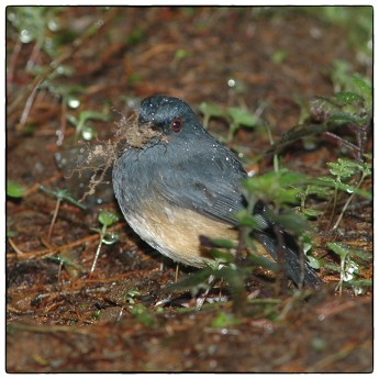 A poor quality image of Nilgiri Blue Robin (Sholicola major) photographed at Cairn Hill, Nilgiri Hills in June 2006-the same time that I bumped into V.V.Robin. At this point it had not been split from the populations south of the Palghat Gap.