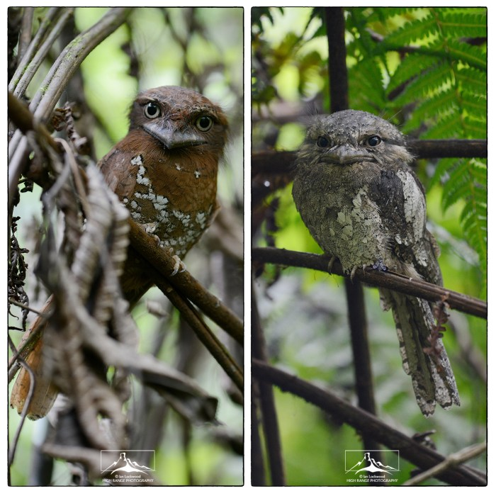 Frogmouth_Collage_1(MR)(05_18)