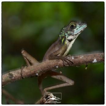 Sri Lanka Kangaroo Lizard (Otocryptis wiegmanni) male