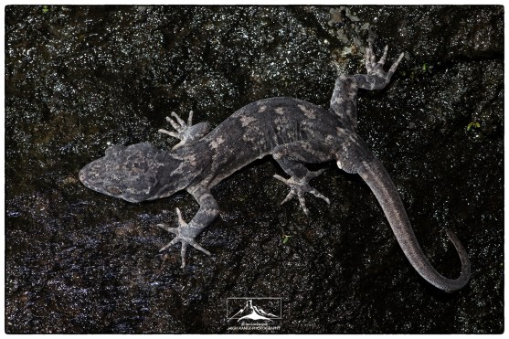 The endemic Knuckles Bent-toed Gecko (Cyrtodactylus soba) photographed on the Riverston road. November 2018