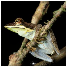 Another view of the critically endangered Morningside Hourglass frog (Taruga fastigo) at Morningside.