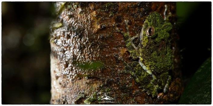 Pseudophilautus_sp_dark_green_ES_1(MR)(06_19)