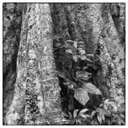 Close up of buttress of a large tropical rainforest species in the primary forests of Thattekad.