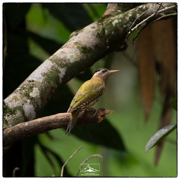 Streak-throated Woodpecker (Picus xanthopygaeus) at Eldhose's house outside of Thattekad.