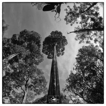Towering Dipterocarp sp. from below.