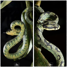 Sri Lanka Green Pit Viper (Trimeresurus trigonocephalus) that was found in a fruit tree beside Martin's Forest Lodge.