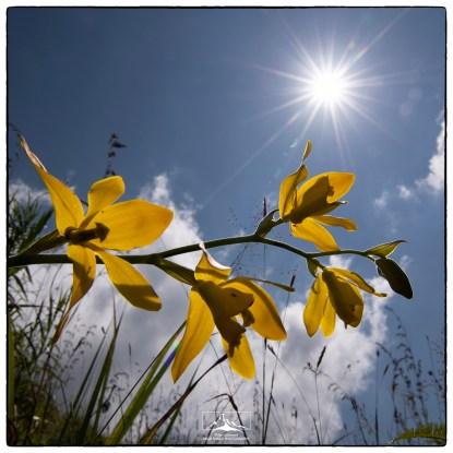 Daffodil orchid (Ipsea speciosa). (January 2020)