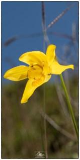Daffodil orchid (Ipsea speciosa) close up. (January 2020)
