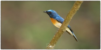 """A male Blue-throated flycatcher (Cyornis rubeculoides) at Thattekad. Photographed at KV Eldhose Kv's """"flycatcher hide"""" in December."""