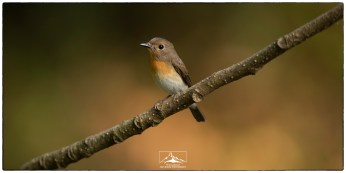 """A female Blue-throated Flycatcher (Cyornis rubeculoides) at Thattekad. Photographed at KV Eldhose's """"flycatcher hide"""" in December."""