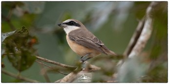 Brown shrike (Lanius cristatus) a winter visitor seen with ease in gardens and secondary forest near Thattekad.