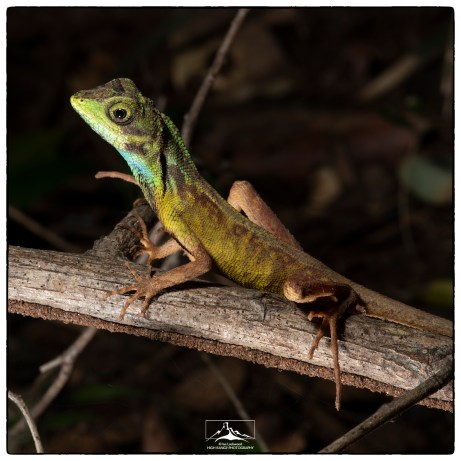 Lowland Kangaroo Lizard (Otocryptis nigristigma) at Back of Beyond's Pidurangala property.