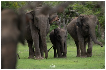 Elephant matriarchs protecting their young in Kumana National Park.