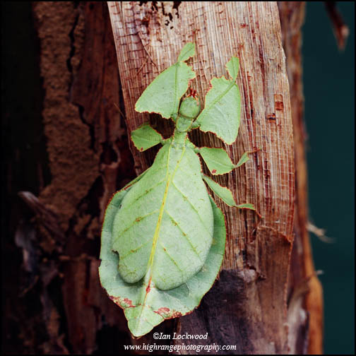 Leaf insect (Phyllium bioculatum) shot with a Hasselblad 503 CE & 120 mm lens
