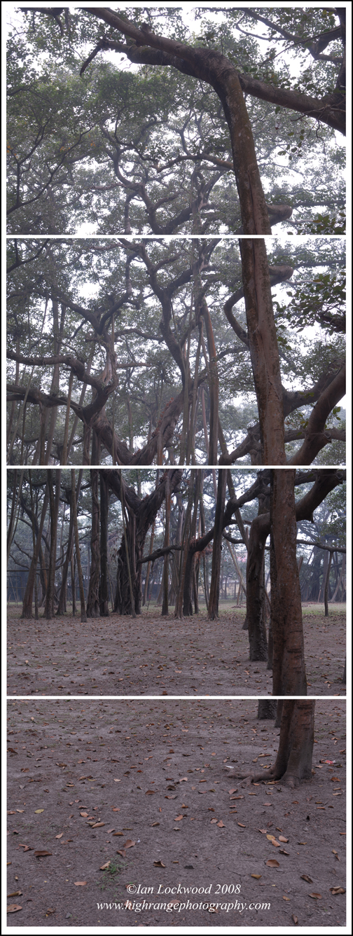 Great Banyan (Ficus benghalensis) at the Kolkata Botanical Garden: four part composite image without blended layers