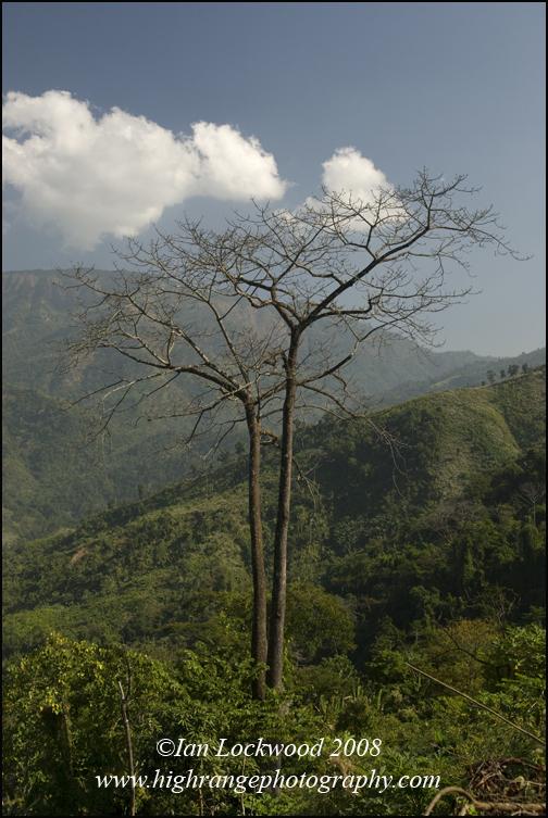 Red silk cotton tree (Bombax ceiba) north of Sirchip.