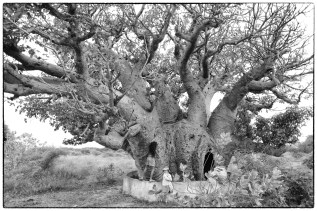 Mannar baobab...one of many beautiful trees originally planted by Arab pearl traders.