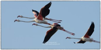 Greater flamingos in flight at Vankalai Bird Sanctuary.
