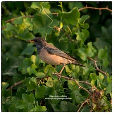 Rosy Starling (Pastor roseus), part of a large flock, north of Vankalai