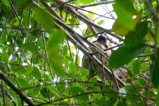 Bastimentos Island Sloth - Bocas del Toro, Panama