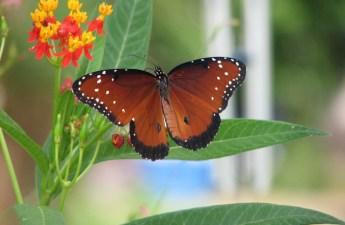 Queen Butterfly Closeup