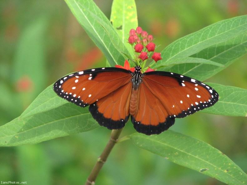 Queen butterfly on milkweed