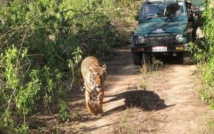 TIGER IN PUBLIC ROAD
