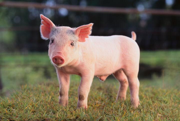 Transplantation d'organes de porcs pour les humains