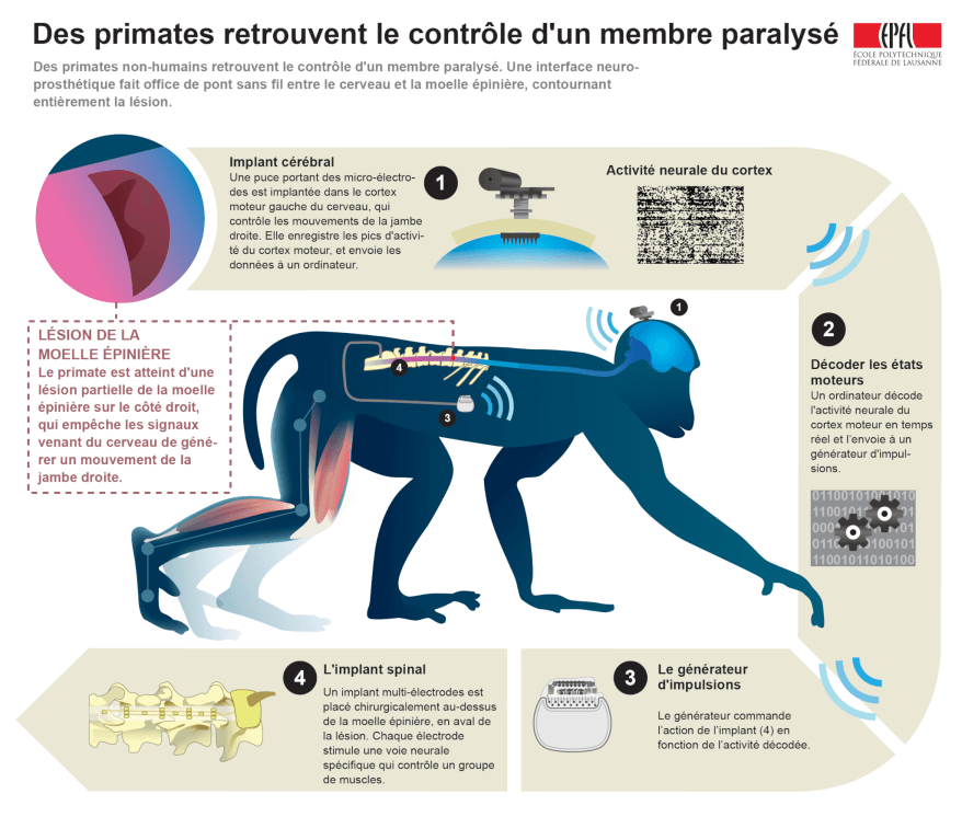A neural interface helped a monkey walk again after its spinal cord was cut Swiss Federal Institute of Technology in Lausanne
