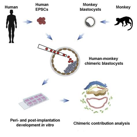 chimères homme-singe