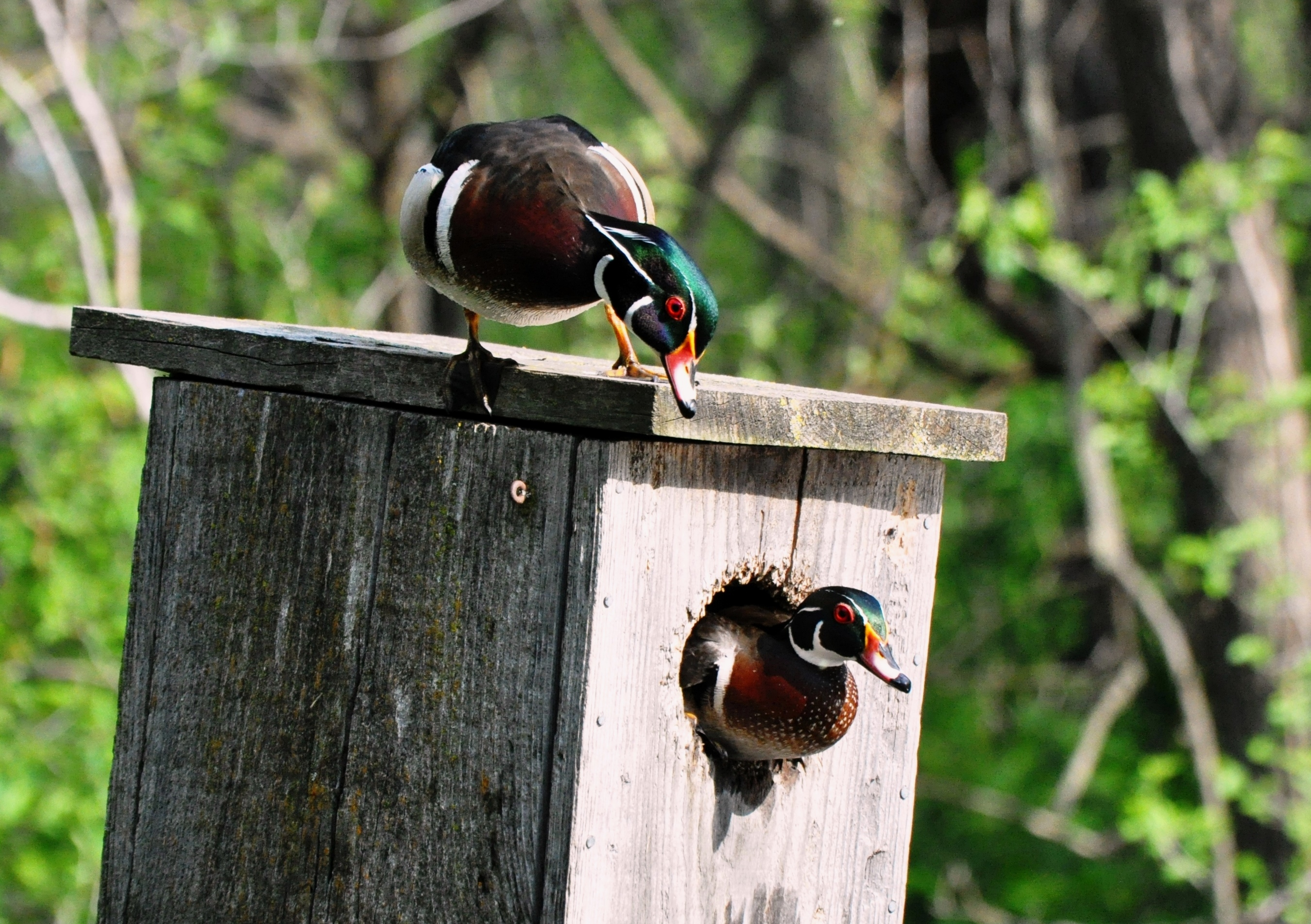 Will Drake Wood Ducks Enter Nesting Cavities